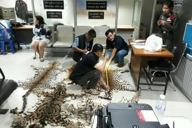 La police récolte des données sur les huit peaux d'animaux sauvages (sept léopards et un chat doré d'Asie) saisis lundi soir à Chiang Mai