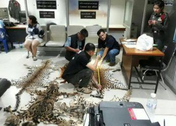 La police récolte des données sur les huit peaux d'animaux sauvages (sept léopards et un chat doré d'Asie) saisies lundi soir à Chiang Mai