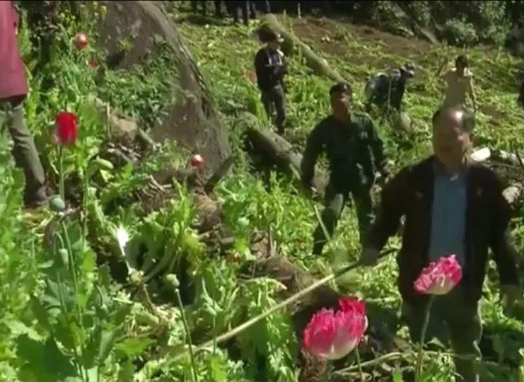 Les surfaces cultivées destinées à l'opium ont fortement diminué en Thaïlande