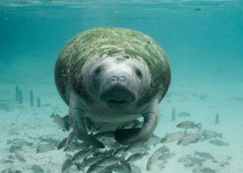 Le nombre de dugongs au plus haut depuis 20 ans
