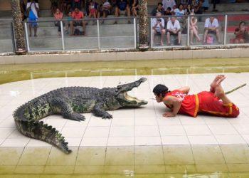 Phuket : un crocodile mord le dresseur pendant un spectacle