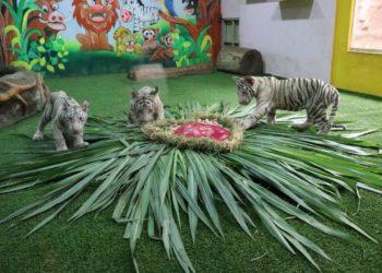 Le zoo de Chiang Mai dévoile ses tigreaux blancs