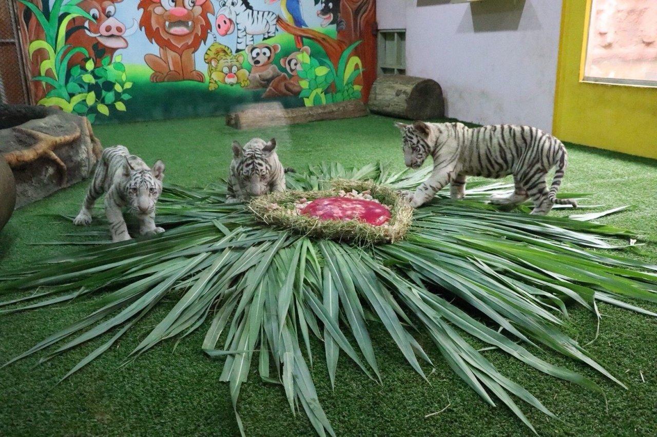 Le zoo de Chiang Mai a présenté ses trois nouveaux petits tigres blancs