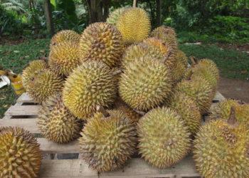 Les producteurs de durians se plaignent de pénurie face à la demande chinoise