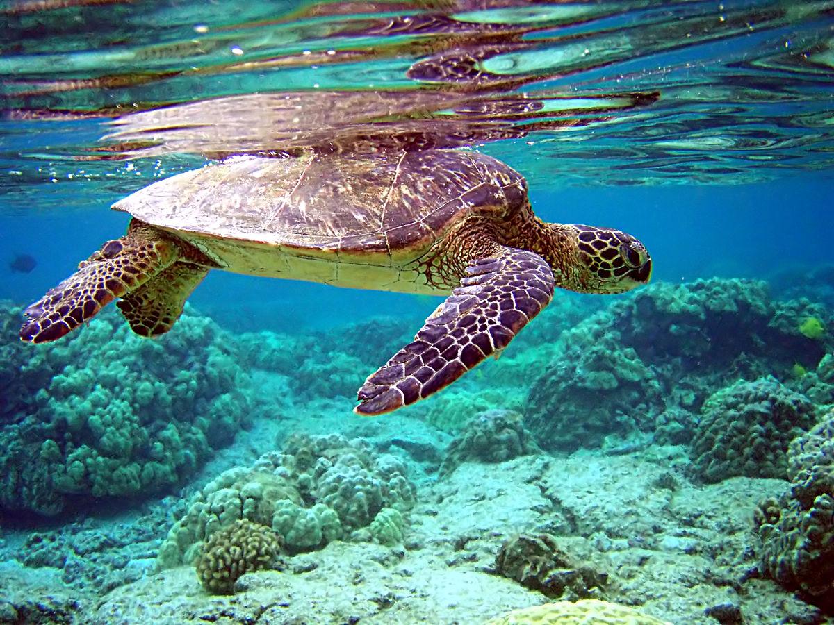 Plus de vingt tortues marines ont été retrouvées mortes après avoir échoué sur des plages de Phuket et Phang Nga au cours des deux derniers mois