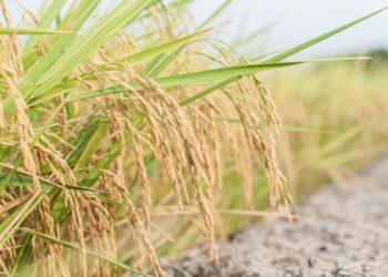 Les exportations de riz thaïlandais reculent en juillet