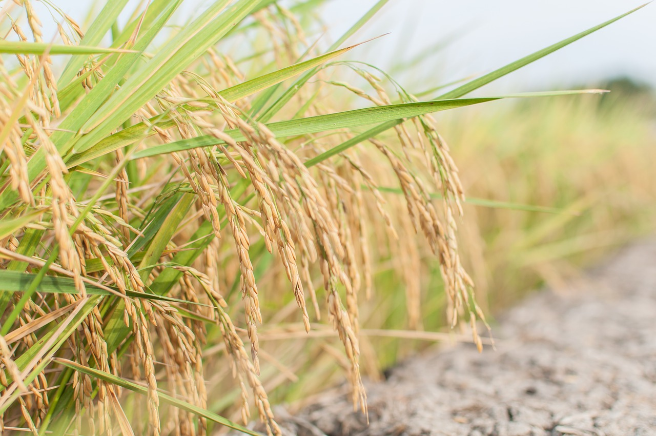 La Chine a effectué son premier achat de riz auprès de la Thaïlande depuis 6 mois