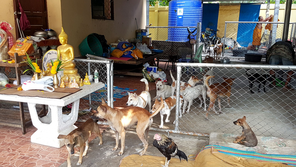 Des responsables vétérinaires estiment que la population de chiens et chats errants atteindra 2 millions d'ici dix ans en Thaïlande