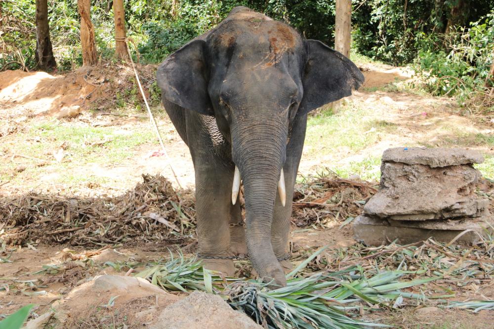 Thaïlande : 2 touristes italiens blessés par un éléphant