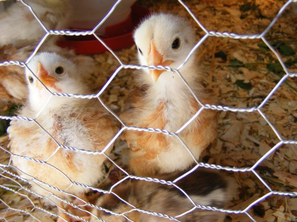 La France va interdire le « broyage des poussins » dans les élevages industriels