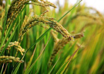 La Thaïlande pourrait glisser à la 3e place des pays exportateurs de riz en 2020