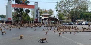 Thaïlande : une bagarre de singes secoue la ville de Lopburi