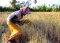 Le Cambodge en bonne voie pour exporter 1 million de tonnes de riz en 2020