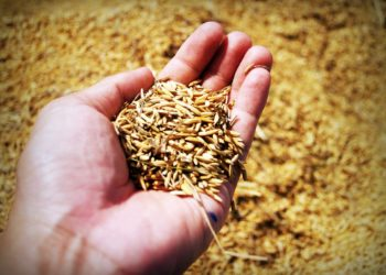 La Thaïlande chute au quatrième rang mondial des exportateurs de riz